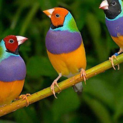 Il canto degli uccelli insegna la comunicazione a distanza tra maschi e femmine