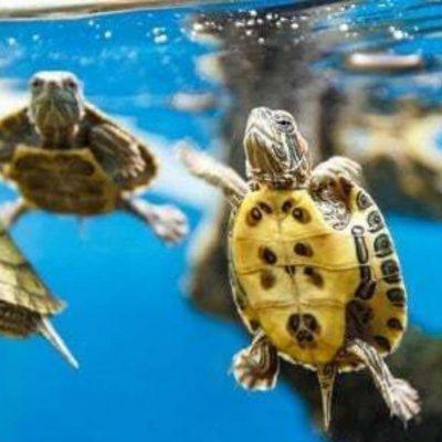In giro a piedi con due grosse tartarughe a guance gialle. Fermato dai carabinieri