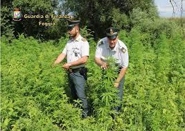 Maxi piantagione di marijuana scoperta a Lesina. Arrestato un pregiudicato