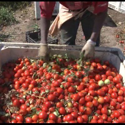 Basilicata, in calo la produzione del pomodoro