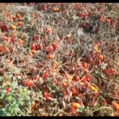 Raccolta dei pomodori a rischio in Puglia