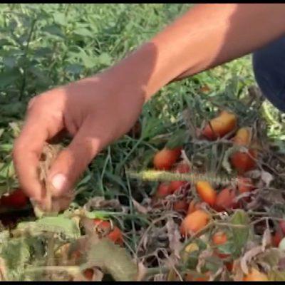 Agricoltura, il caldo brucia i raccolti