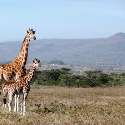 """Le giraffe come gli umani: grazie alle """"nonne"""" crescono i piccoli"""